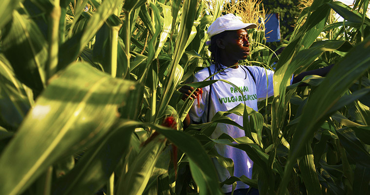 Gertha Dorisca, from the Cul-de-Sac plain in Haiti, checks a plot of corn for any indication of pests.