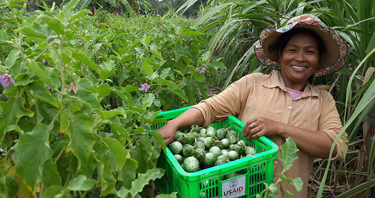 Vieng Noeun, a commercial horticulture farmer, harvests eggplant from her field in Pursat Province, Cambodia.