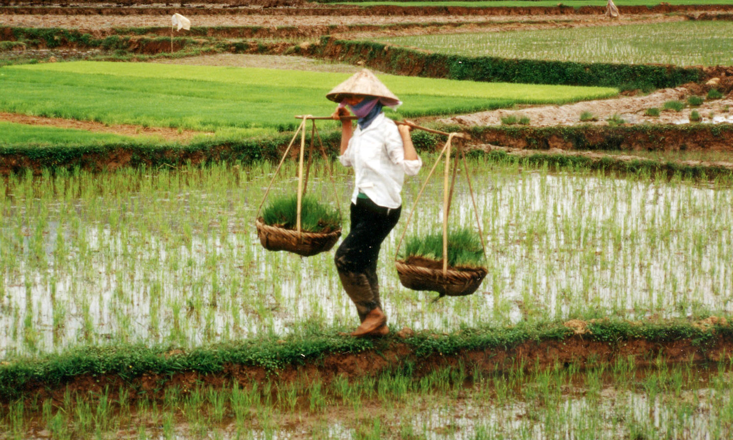 Agricultural research helps farmers in Vietnam grow more rice and counteract the impacts of climate change on food security.
