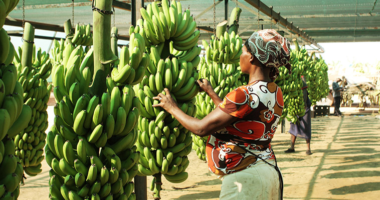 This woman checks the status of the bunches of bananas after they are transported to the production facility.