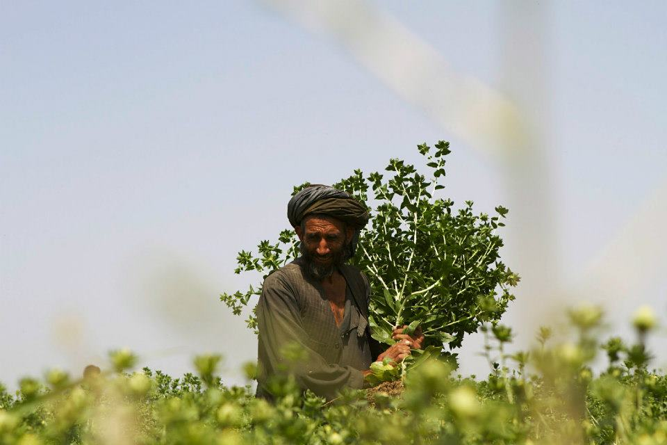 An Afghan farmer gathers safflower grown with the support of a USAID-funded program to improve Afghanistan's agriculture