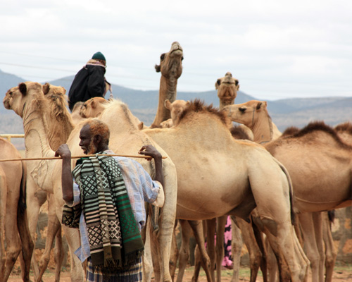 A camel trader in the Somali region of Ethiopia stands near his animals at a livestock market.