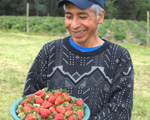Felix Mayor, a Kaqchikel Maya leader of a Guatemalan farmers cooperative, holds freshly picked strawberries.