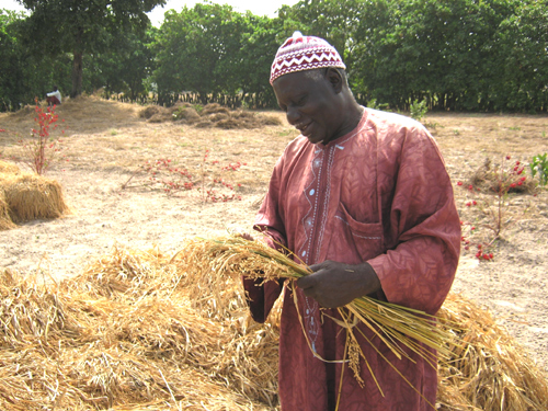 Mamadou Coulibaly inspects his rice harvest.