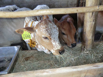 After being raised at the Project Mercy farm, these two heifers will be transferred to Project Mercy beneficiaries.