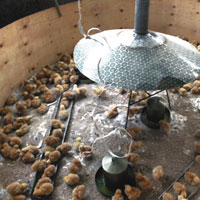 Young chicks in a brooder house. The young women are trained on how to rear them using locally available materials and clever in
