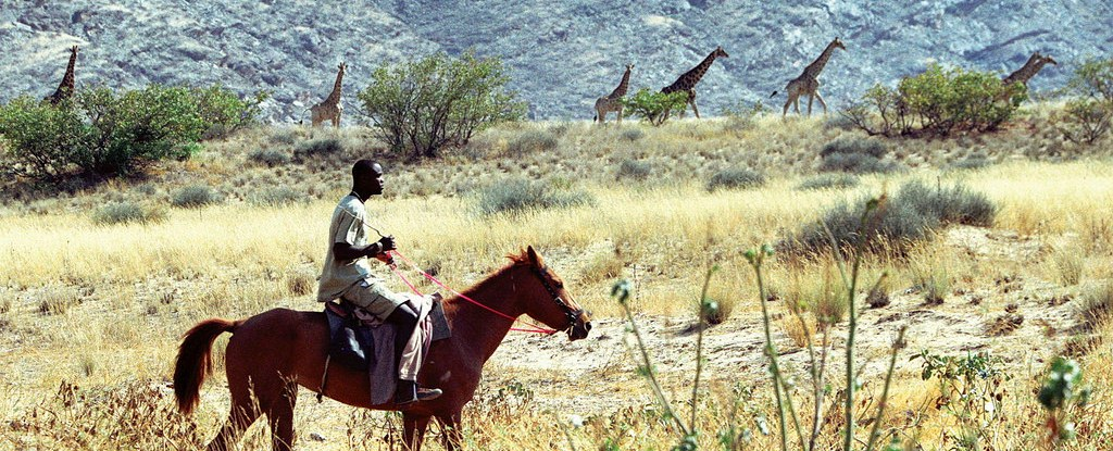 A community member rides his horse alongside giraffe in a game count in the Puros Conservancy of Namibia.