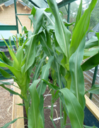 Maize test plants at DTI-r