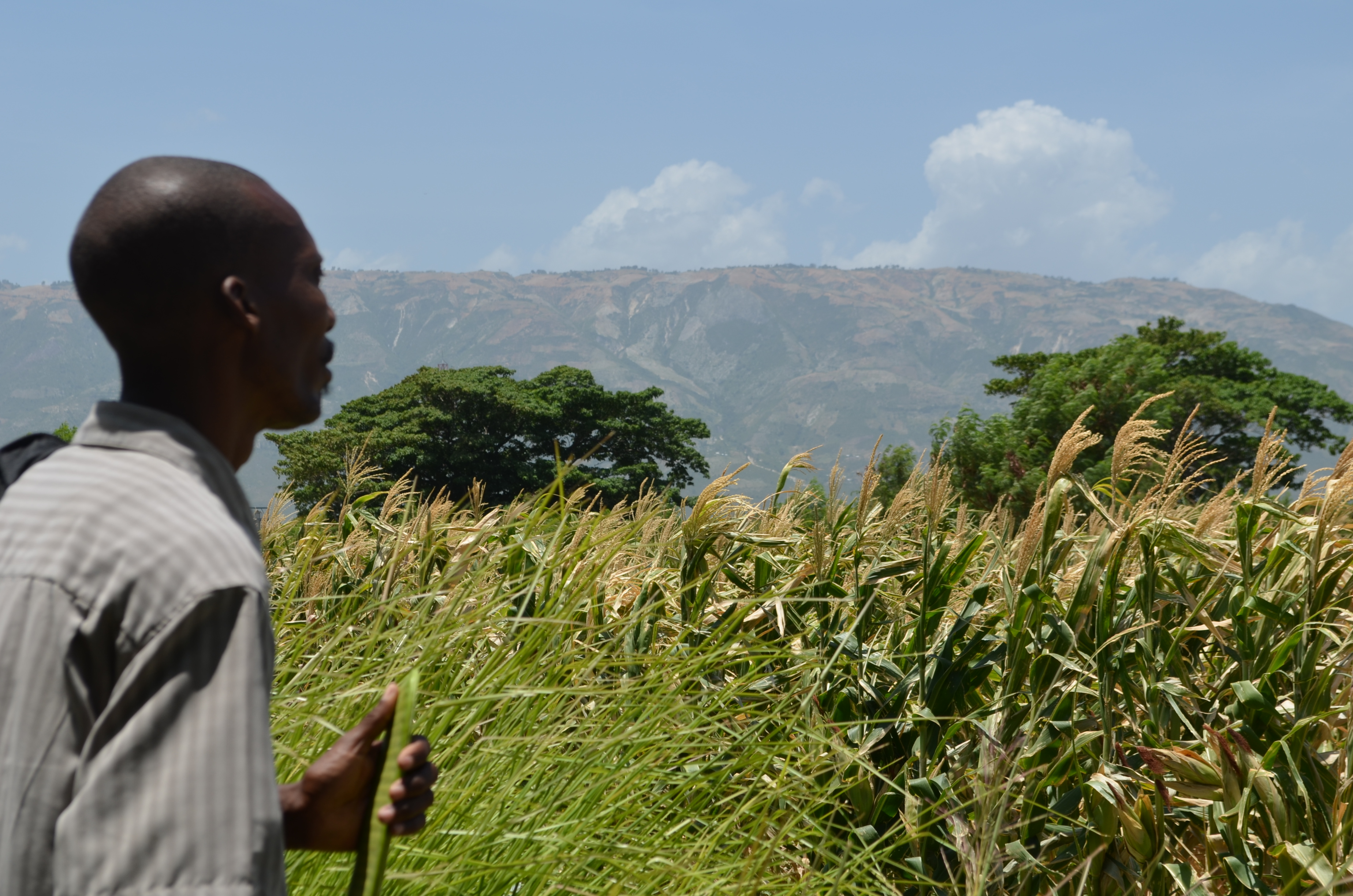 Haitian farmer at a Feed the Future demonstration plot.