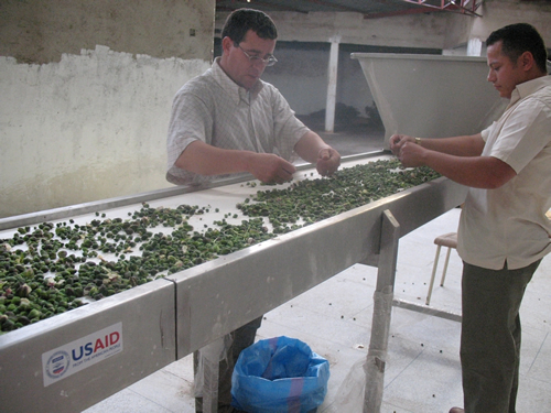Image of two Moroccan men sorting and processing capers