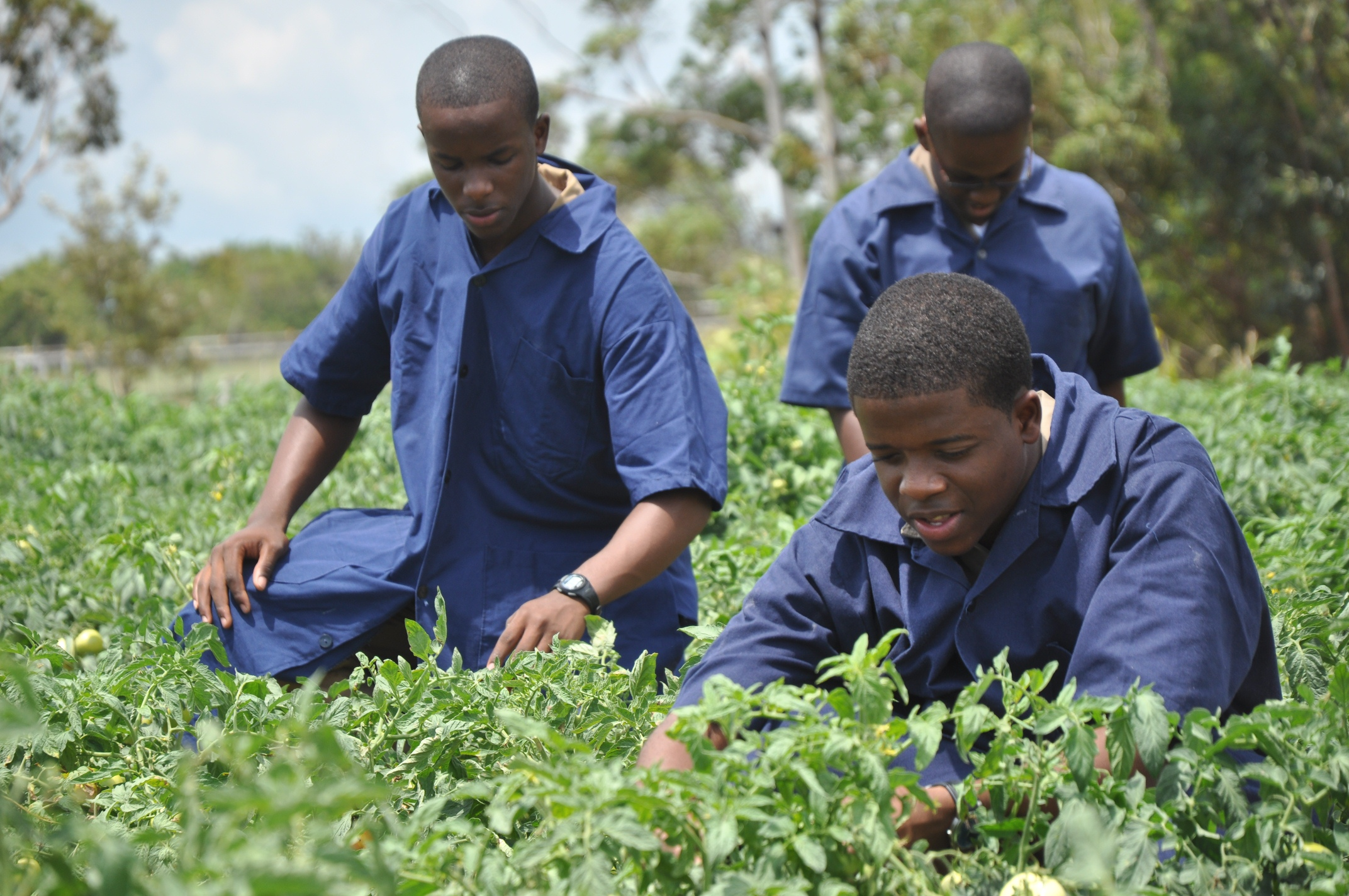 Left to right foreground: Carlton Collins and Cavon Chantilou, students at Munro College, tend to the tomato farm.