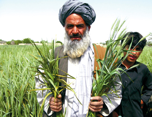 A farmer in Balochistan, Pakistan, displays wheat affected by wheat stem rust. USAID is working to develop agriculture in Baloch