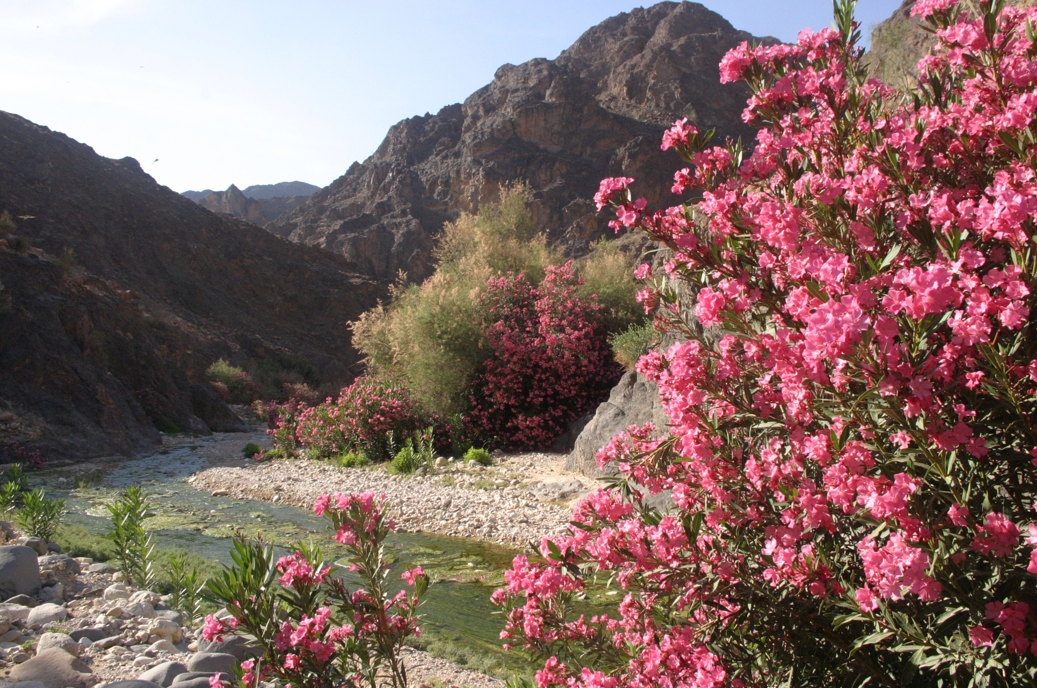 Oleander line the basin of the Wadi Dana.