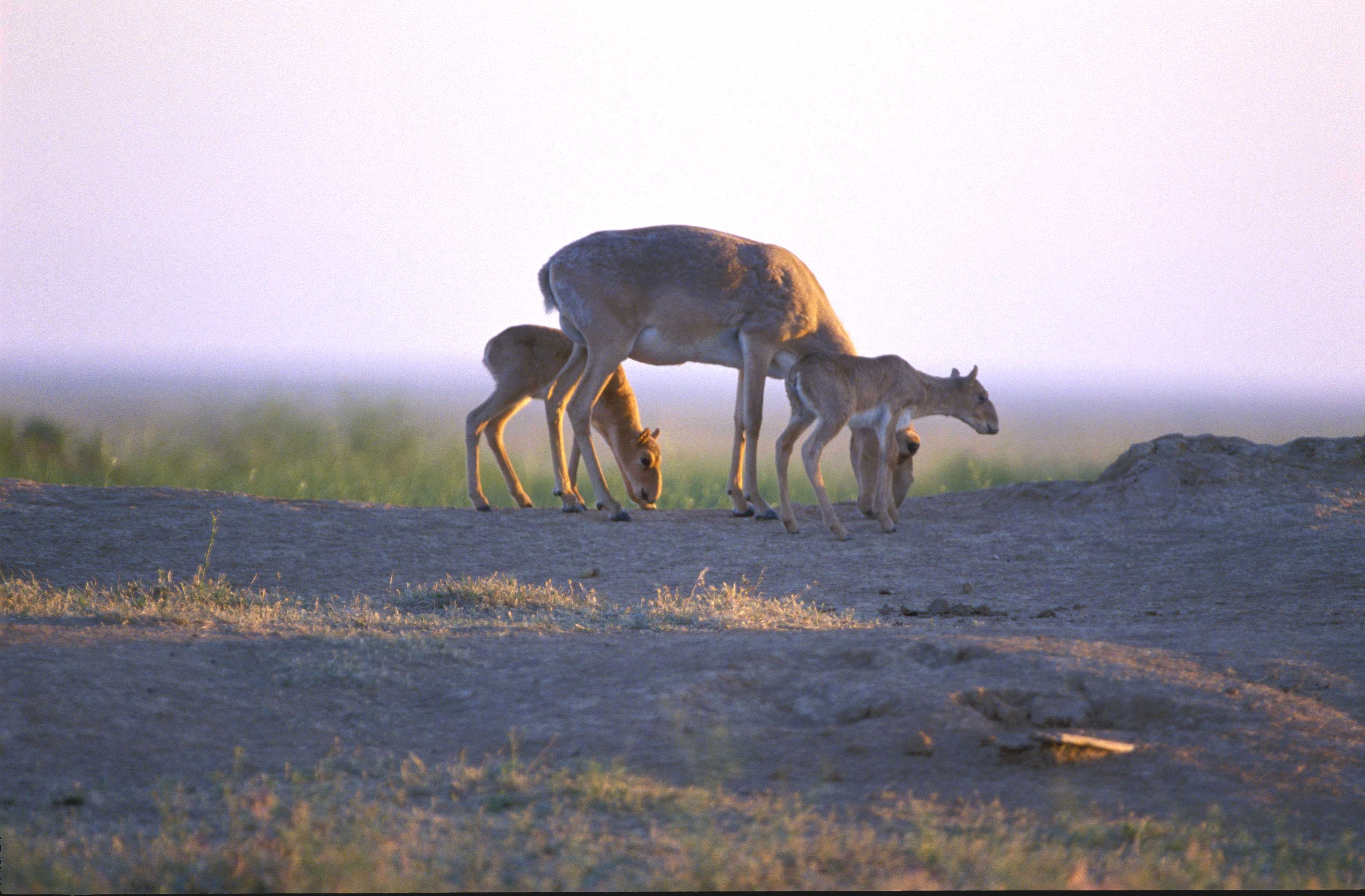 Saiga mother and babies grazing