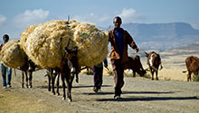 A man walks with his cattle carrying wheat. Photo by Peter Lowe, CIMMYT