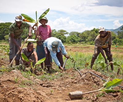 Smallholder farmers in Mutema work together to transplant their healthy banana plantlets to the irrigated field. With technical