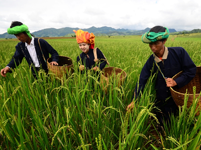 Image of three Burma farmers harvesting rice