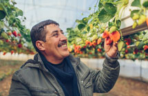 The West Bank Strawberry King
