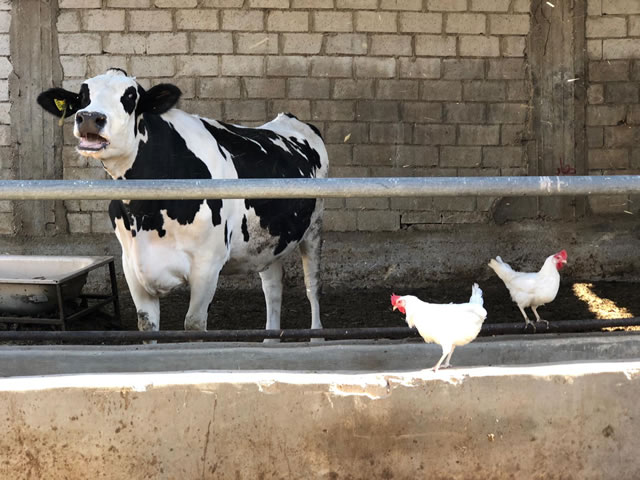 A cow and some chickens.