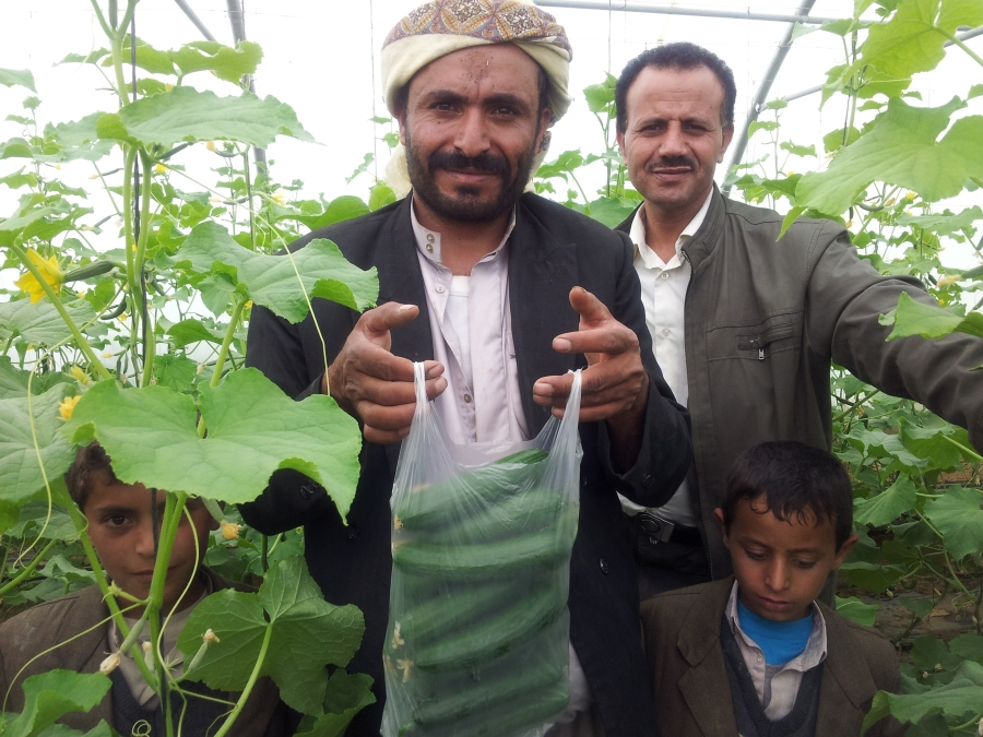 Yemeni farmers in a greenhouse of cucumbers