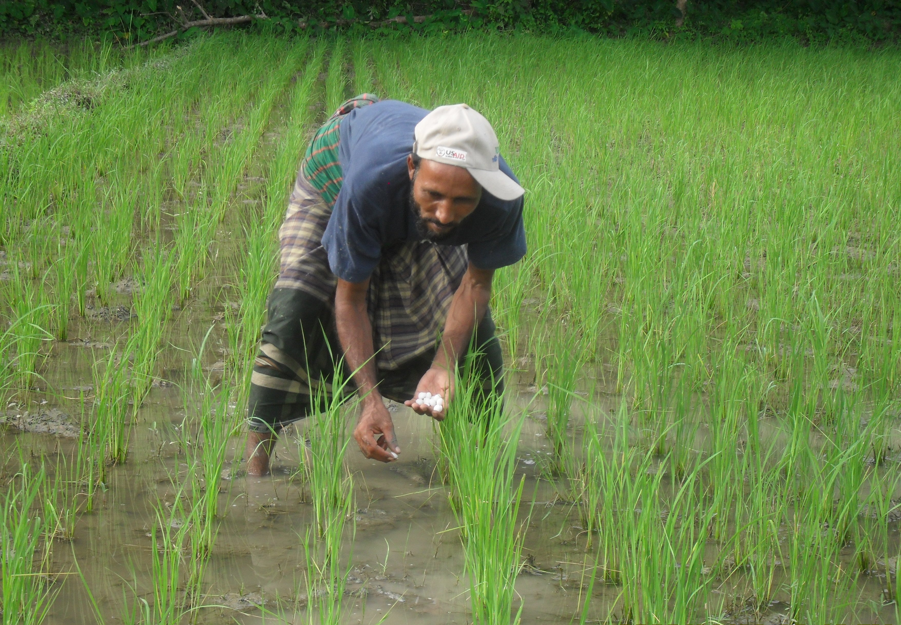 Farmer using Urea Deep Placement Technology at the rice field