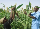 Hamidou Ly, right, and son Mamadou work in their sorghum field cultivated with conservation farming techniques. They are wrappin