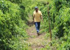 A farmer in San Rafael walks through a farm of trellised yams.