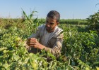 A farmer inspects his tomato crop in Esna, a small town in southern Egypt outside Luxor.
