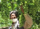 Mohammad Nasir, a farmer from Parwan province, Afghanistan, inspects his nearly ripened grapes.