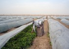 "USAID's ""Inma"" agribusiness project provides assistance to farmers in the Hillah province.  Credit: Louis Berger"