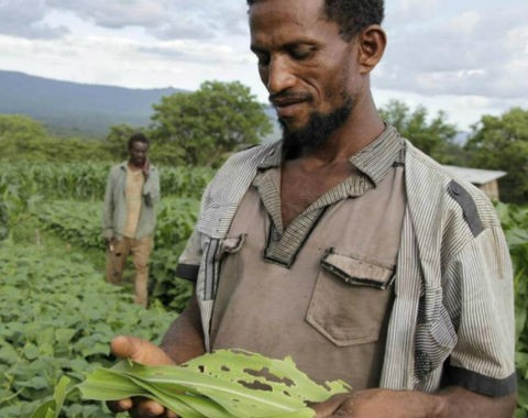 Farmer Tazelekwew in southern Ethiopia in his maize field affected by the fall armyworm.