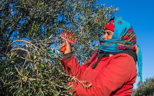 Woman harvests olives in El Fahs, Tunisia.