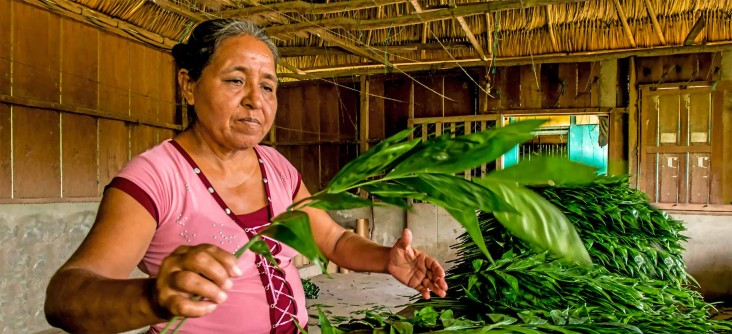A woman examines harvested tender plant branches