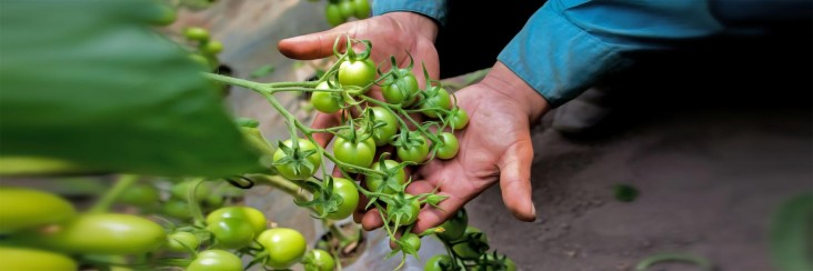 A farmer's hands display small green tomatoes growing on the vine.