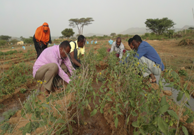 Farmers weeding and pruning vegetable crops at a USAID-supported demonstration plot.