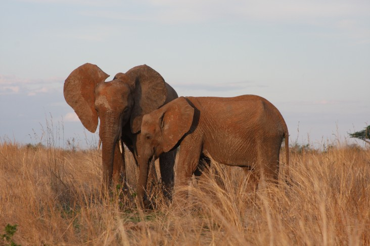 Elephants grazing in Ruaha National Park
