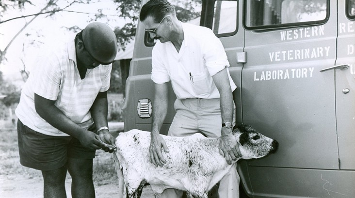 photo from 1964 showing a veterinarian giving a shot to a calf