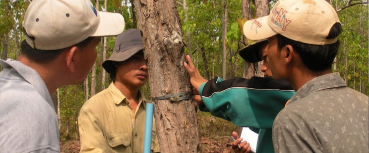 Foresters measure the diameter of a tree