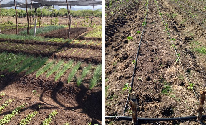 Farmers have converted four hectares of an former sisal plantation into a vegetable farm, using a drip irrigation system.