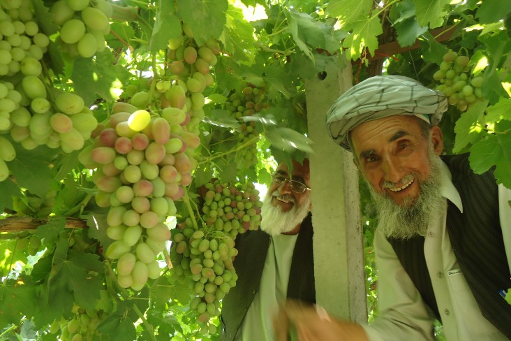 In Kabul Province, Said Agha checks on his soon to be harvested crop. His income has increased by 50 percent for the vines he ha