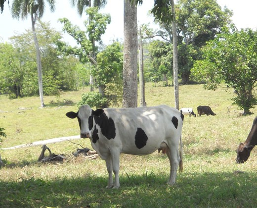 Cattle belonging to the Loma de Cabrera dairy farmers association in the Dominican Republic