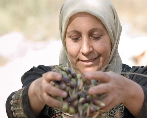 A Palestinian woman harvests olives.