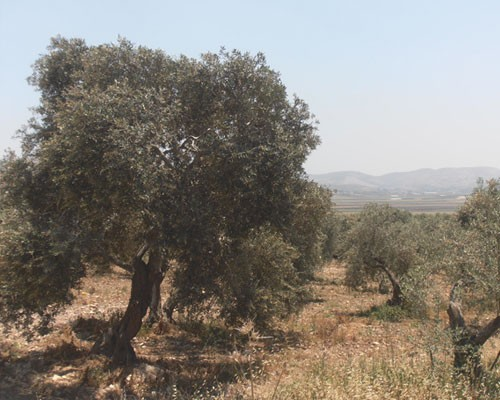 The olive tree is indigenous to the rocky landscape of the West Bank
