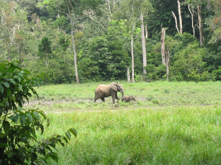 An elephant forages in a forest clearing