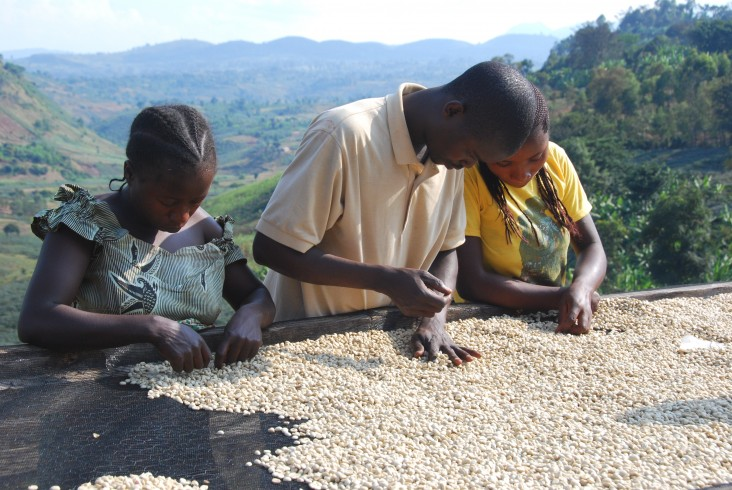 After drying in the sun, coffee is given a final sorting to remove defects.