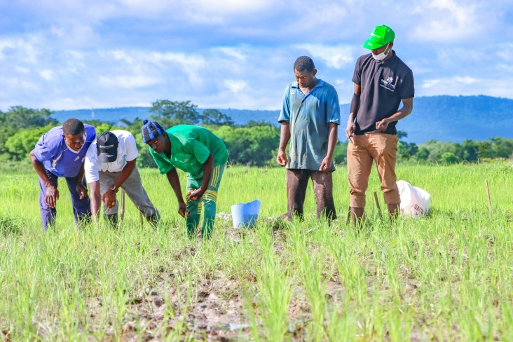Farmers trained to apply the urea deep placement technology on rice in Senegal.