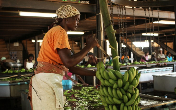 Expanding Ag Markets and Trade – A woman in Mozambique cuts bananas. After harvesting and transporting bananas, workers cut them