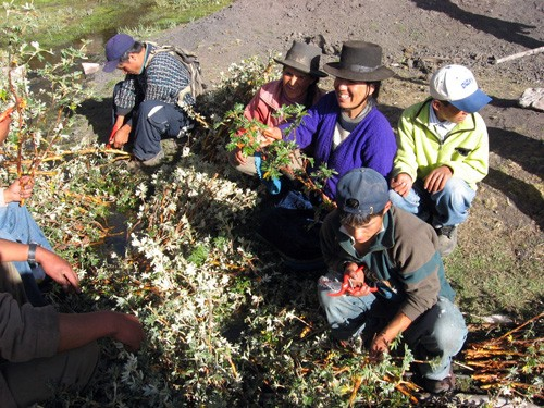 "A community forestry group in Ancash, Peru, prepares to reforest with native Polylepis or ""paper"" trees."