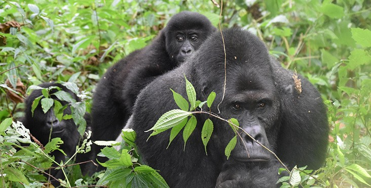 Gorillas are one of the many animals whose populations and habitats are better managed and protected through USAID's work in Central Africa.