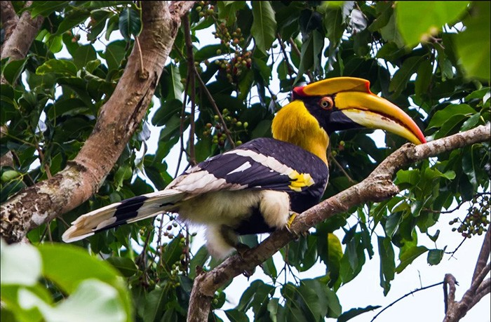 A great hornbill, one of Cambodia's iconic wildlife species.